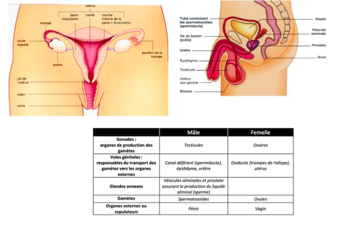 Male femelle phenotyepe sexuel